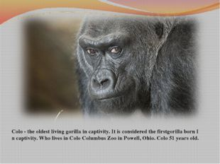 Colo-the oldestlivinggorillain captivity.Itis considered the firstgori