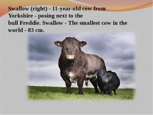 Swallow (right) - 11-year-old cow from Yorkshire - posing next to the bull F