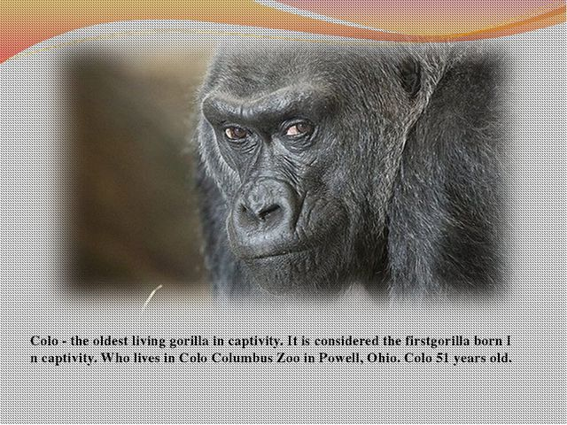 Colo - the oldest living gorilla in captivity. It is considered the firstgori...