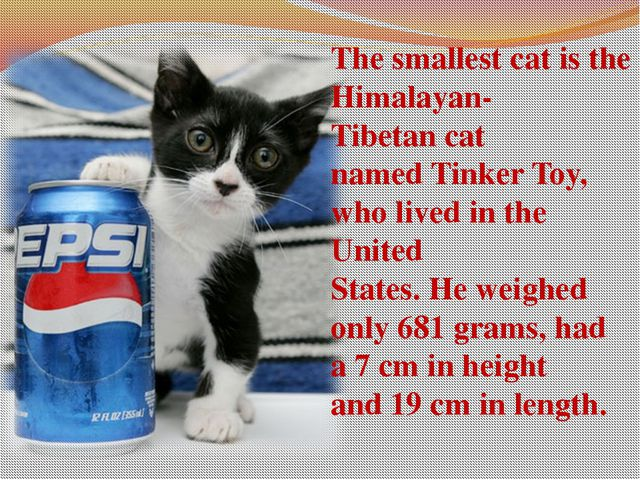 The smallest cat is the Himalayan-Tibetan cat named Tinker Toy, who lived in ...