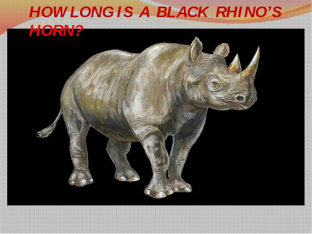 HOW LONG IS A BLACK RHINO'S HORN?