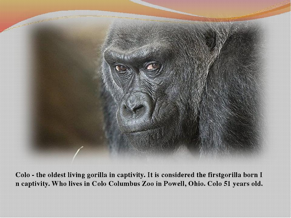 Colo-the oldestlivinggorillain captivity.Itis considered the firstgori...