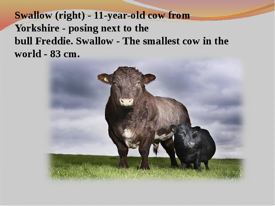 Swallow (right) - 11-year-old cow from Yorkshire - posing next to the bull F...