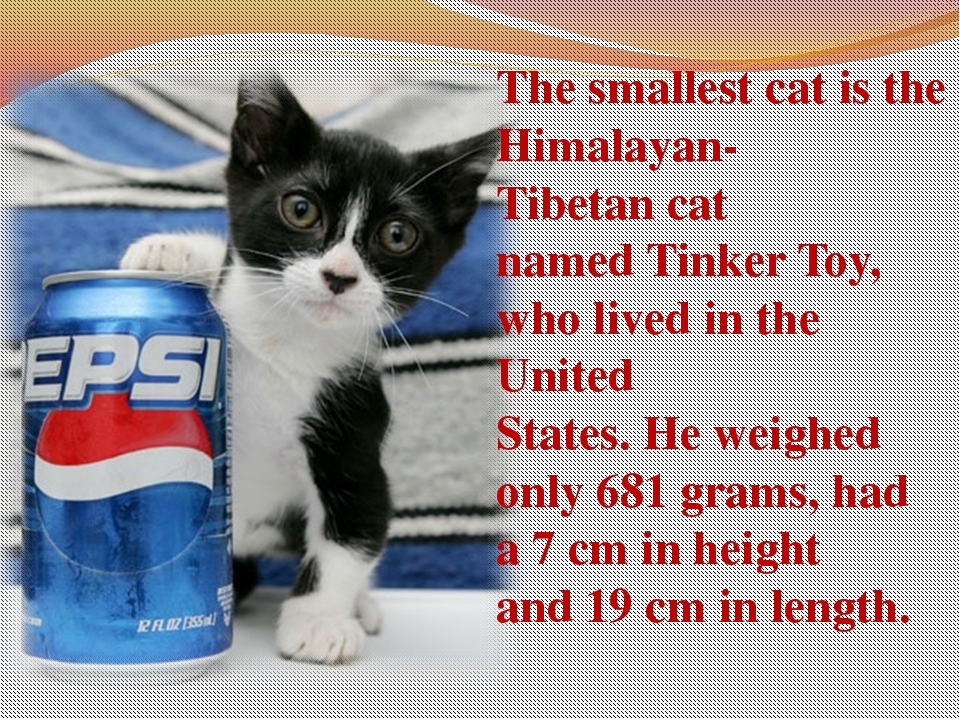 The smallestcatisthe Himalayan-Tibetancat namedTinkerToy, who lived in...