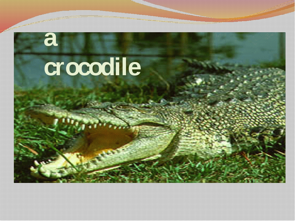 Guess the riddles a crocodile