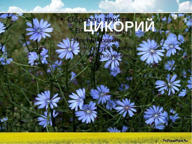 ЦИКОРИЙ ProPowerPoint.Ru