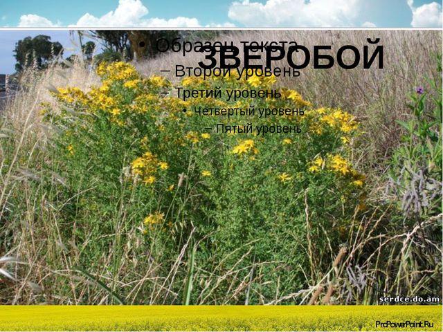 ЗВЕРОБОЙ ProPowerPoint.Ru