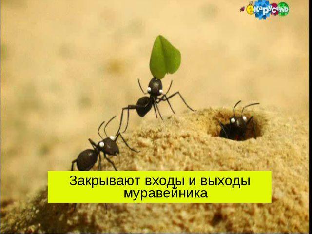 Закрывают входы и выходы муравейника