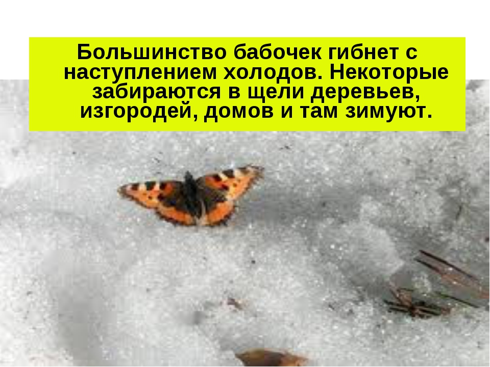 Большинство бабочек гибнет с наступлением холодов. Некоторые забираются в щел...