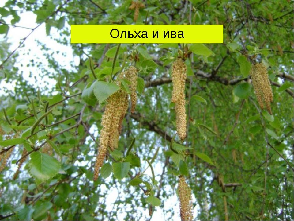 Ольха и ива