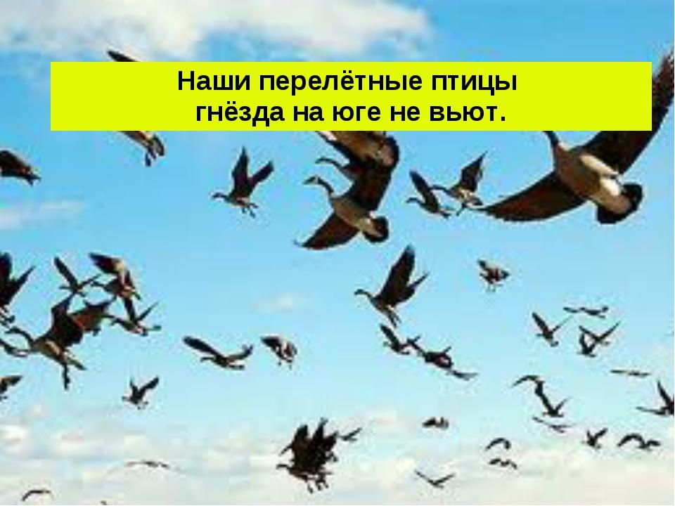 Наши перелётные птицы гнёзда на юге не вьют.