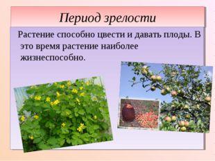 Период зрелости Растение способно цвести и давать плоды. В это время растение