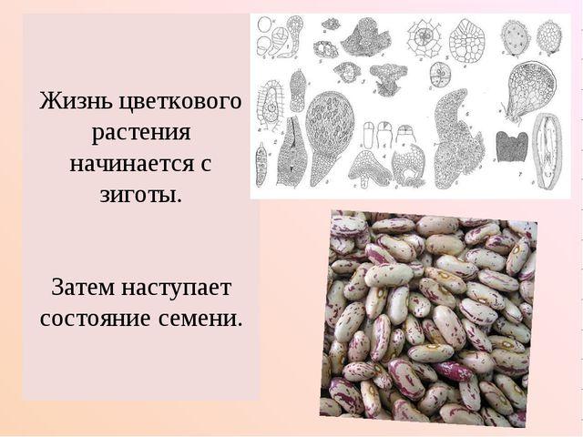 Жизнь цветкового растения начинается с зиготы. Затем наступает состояние семе...