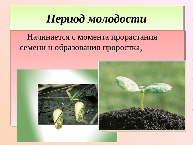 Период молодости Начинается с момента прорастания семени и образования пророс...