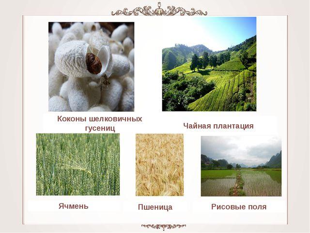 Чайная плантация Коконы шелковичных гусениц Рисовые поля Пшеница Ячмень