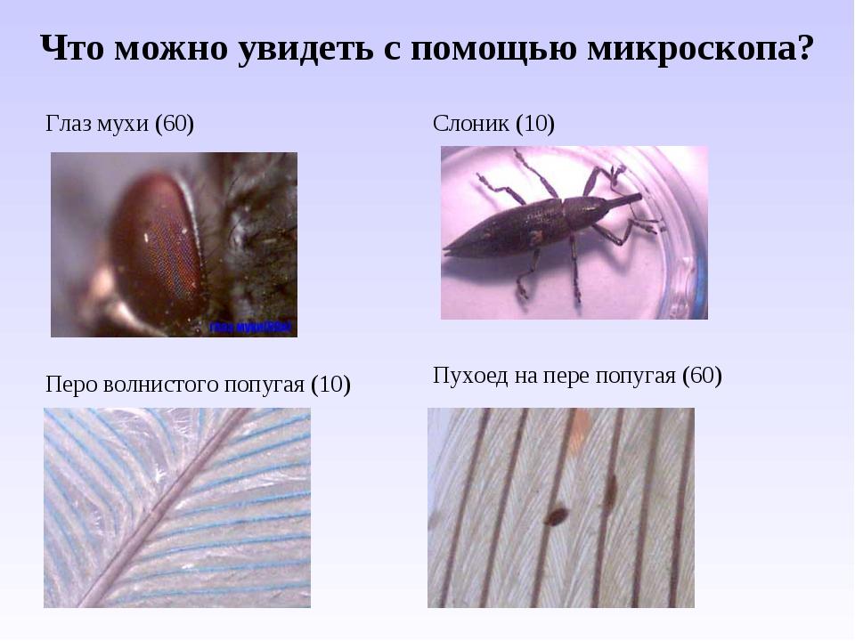 Что можно увидеть с помощью микроскопа? Глаз мухи (60)Слоник (10) Перо волни...