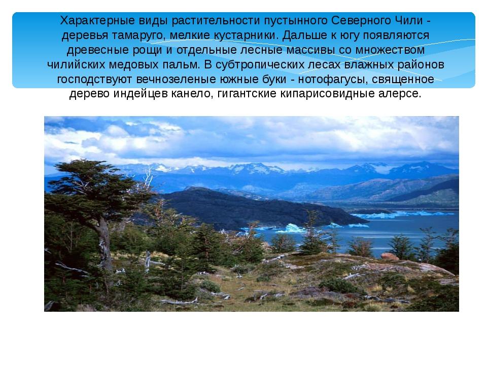 Характерные виды растительности пустынного Северного Чили - деревья тамаруго,...