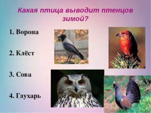 Какая птица выводит птенцов зимой? Ворона 2. Клёст 3. Сова 4. Глухарь