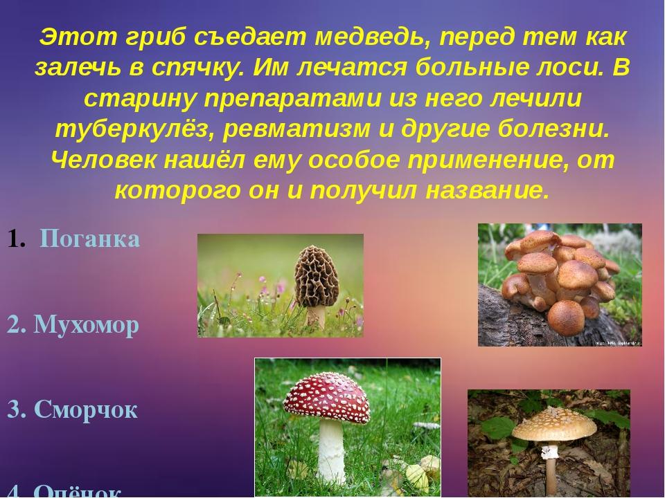 Этот гриб съедает медведь, перед тем как залечь в спячку. Им лечатся больные...