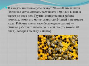 В каждом пчелином улье живут 20— 60 тысячпчел. Пчелиная матка откладывает