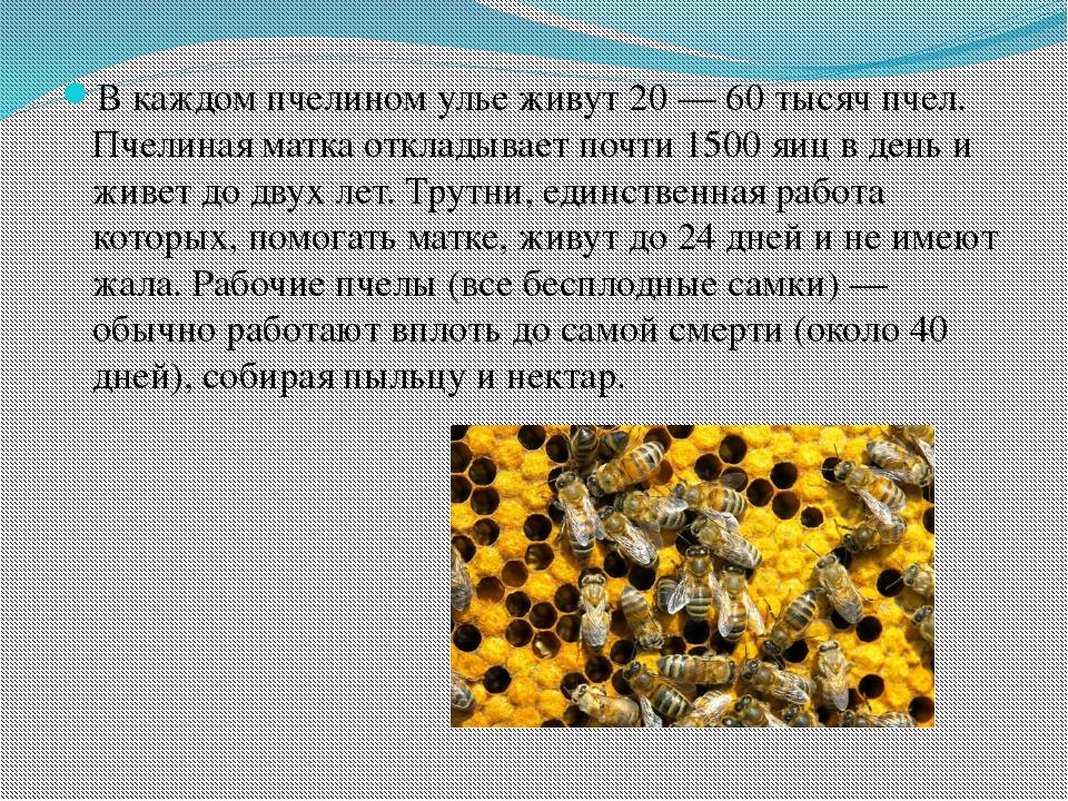 В каждом пчелином улье живут 20— 60 тысячпчел. Пчелиная матка откладывает...