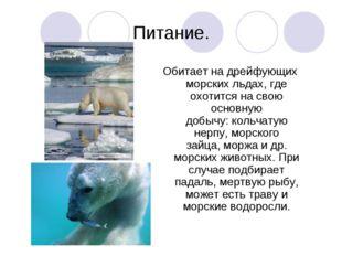 Питание. Обитает на дрейфующих морских льдах, где охотится на свою основную д