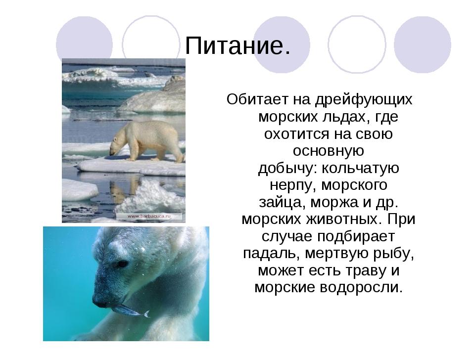 Питание. Обитает на дрейфующих морских льдах, где охотится на свою основную д...