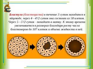 Бластула (бластоциста) в течение 3 суток находится в яйцеводе, через 4—4'/2 с