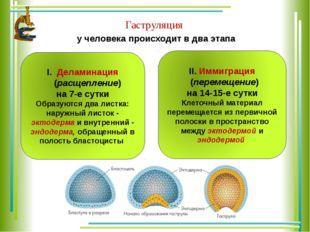у человека происходит в два этапа Гаструляция Деламинация (расщепление) на 7