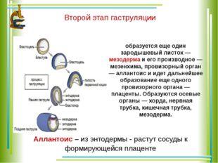 Второй этап гаструляции образуется еще один зародышевый листок — мезодерма и