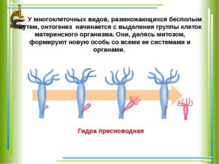 У многоклеточных видов, размножающихся бесполым путем, онтогенез начинается