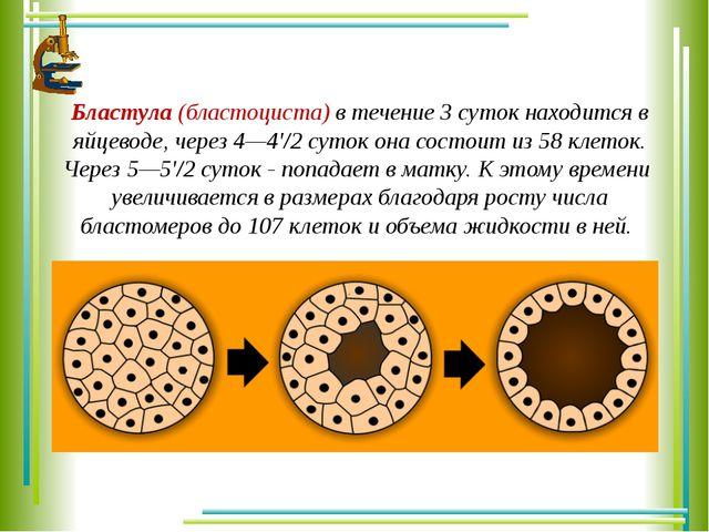 Бластула (бластоциста) в течение 3 суток находится в яйцеводе, через 4—4'/2 с...