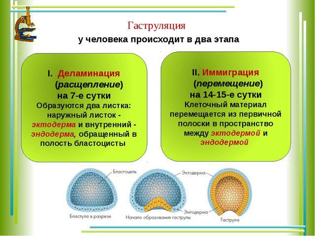 у человека происходит в два этапа Гаструляция Деламинация (расщепление) на 7...