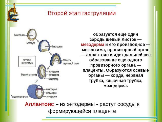 Второй этап гаструляции образуется еще один зародышевый листок — мезодерма и...