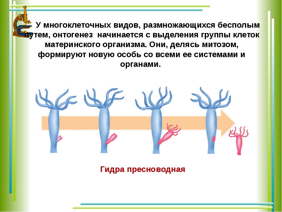 У многоклеточных видов, размножающихся бесполым путем, онтогенез начинается...