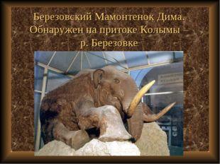 Березовский Мамонтенок Дима. Обнаружен на притоке Колымы – р. Березовке