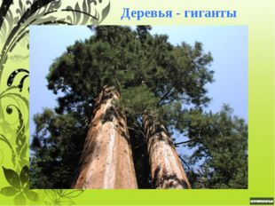 Эвкалипт В Австралии, где растёт больше всего видов эвкалипта, нет деревьев в