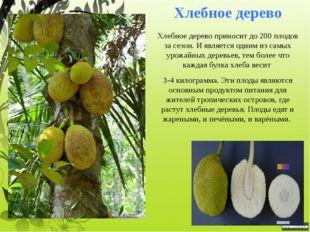 Колбасное дерево На территории экваториальной Африки на высоких деревьях раст