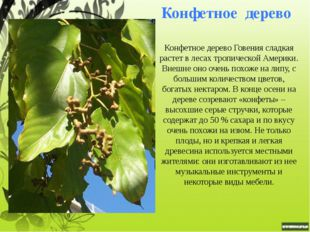Шоколадное дерево или какао Родина какао или шоколадного дерева - тропические