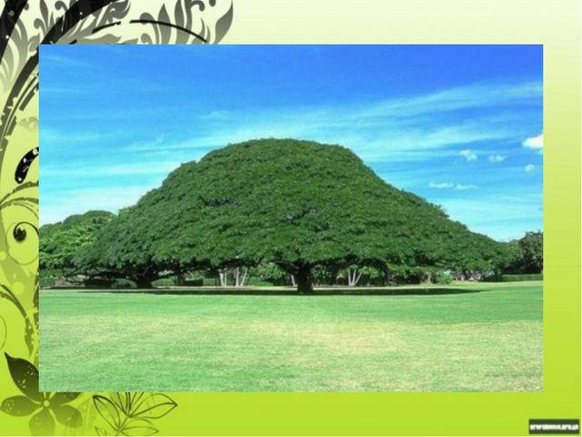 Деревья - гиганты