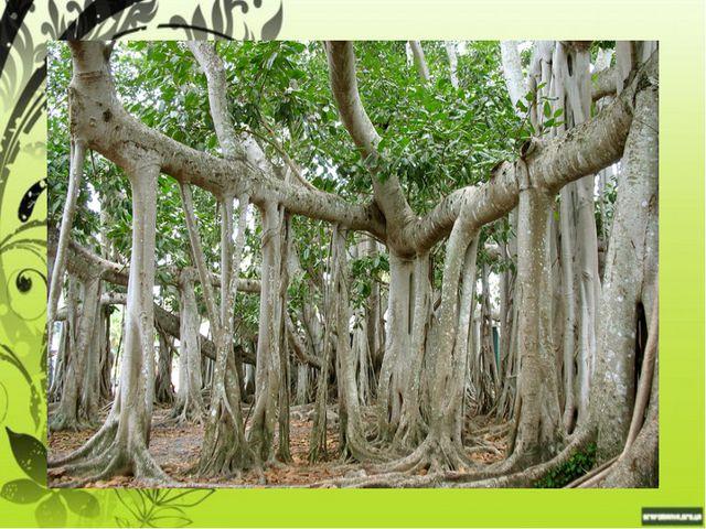 Мамонтово дерево бывает высотой до 100 метров с диаметром ствола до 10 метров...