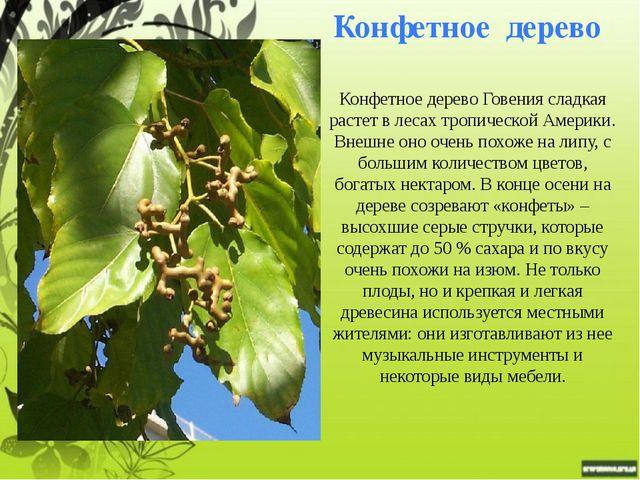 Шоколадное дерево или какао Родина какао или шоколадного дерева - тропические...