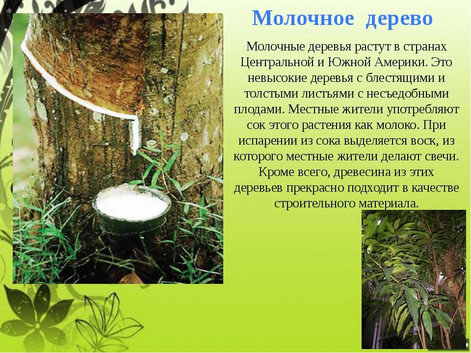 Мыльное дерево Аборигены Америки решают проблему моющих средств с помощью мыл...