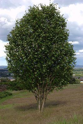 265px-Rowan_tree.jpg