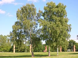 265px-Betula_Pendula_at_Stockholm_University_2005-07-01.jpg