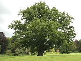 265px-Quercus_robur_JPG_(d1).jpg