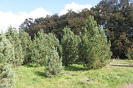 265px-Pinus_sibirica_PAN.JPG
