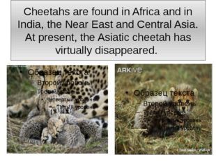 Cheetahs are found in Africa and in India, the Near East and Central Asia. At