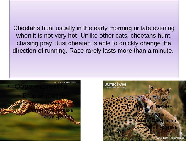 Cheetahs hunt usually in the early morning or late evening when it is not ver...