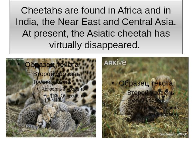 Cheetahs are found in Africa and in India, the Near East and Central Asia. At...